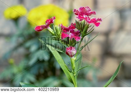 Dianthus Chinensis Flower With Green Leaves And Buds In The Garden