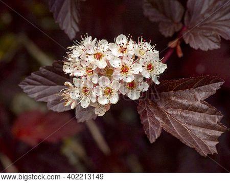 Pretty White Blossom And Dark Leaves Of A Ninebark Shrub, Physocarpus Opulifolius Lady In Red