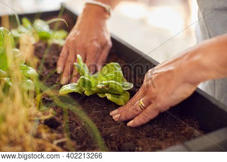 Close Up Of Senior Woman Planting Plants Into Wooden Garden Planter At Home