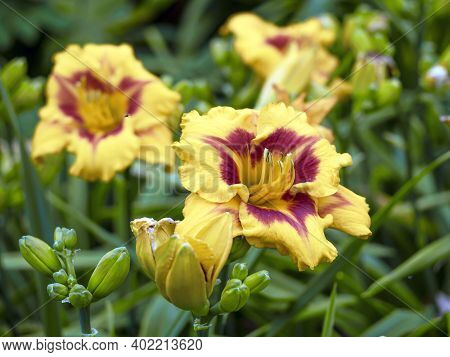 Large Yellow And Purple Blooms And Buds Of A Daylily, Hemerocallis