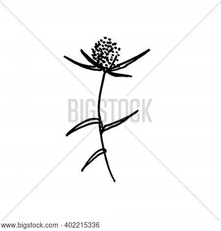 Eryngo Flowering Plant. Printable Line Art. Realistic Hand Drawn Monochromatic Vector Illustration