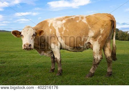 Curious Cow Looking At Camera With Green Grass And Blue Sky Around