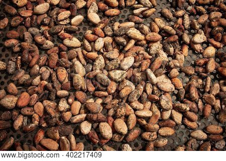 View Of Cacao Seeds Being Sun Dried. Also Known As Theobroma Cacao.