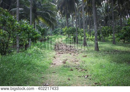 View Of Cacao Tree (also Known As Theobroma Cacao) Plantation Within Coconut Tree Farm In Pollachi,