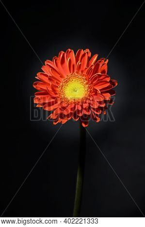 Gerber Colorful  Flower Close Up And Black Background