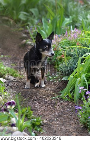 Little Black Very Old Dog On The Footpath On Summer Green Garden Background. Dog In The Meadow With