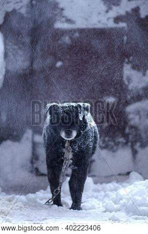 Dog On A Chain In Winter Cold. Dog On A Winter Day