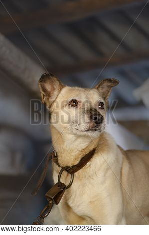 Portrait Of A Mongrel Dog On The Farm. Adult Village Dog On Farm Close Up. Farm Watchdog Enjoying Su