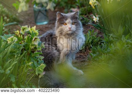 Fleas And Ticks In Domestic Cats. Cat Needs Antiparasitic Veterinary Medicament.