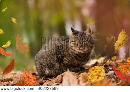 Striped Tabby Cat In The Autumn In Red Orange Yellow Autumn Leaves.