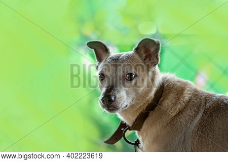 Dog On The Footpath On Summer Green Garden Background. Dog In The Meadow