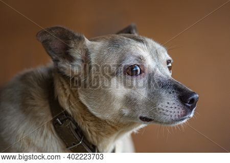 Dog With Big Eyes On Dark Studio Brown Background. Pets And Animals Care Concept.