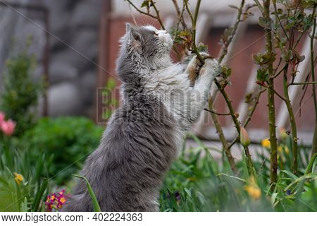 Cat Plays With The Prickly Dangerous Branches Of A Rose