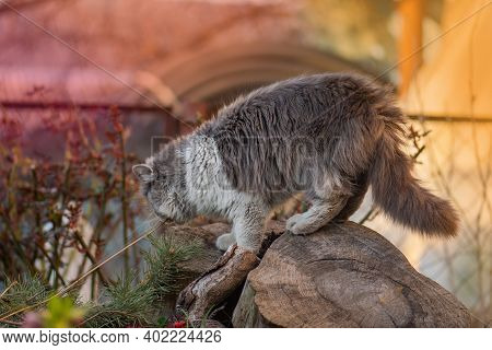 Adorable Young Cat Smelling Herb On The Sunny Garden Among Flowering Nature.