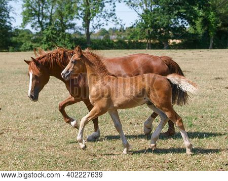 A Welsh Cob Mare And Foal Trotting Through A Paddock