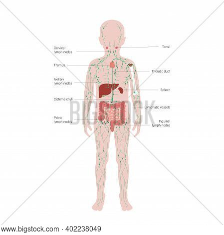 Lymphatic And Immune System Concept. Thymus, Liver, Appendix And Tonsil In Kid Silhouette. Red Bone