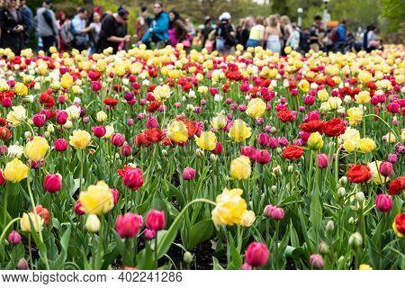 Multicoloured Tulip Field In The Ottawa Internacional Tulip Festival In Ottawa, Ontario, Canada. Peo