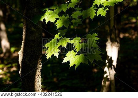 Green Maple Tree Leaves With Harsh Shadows During Spring