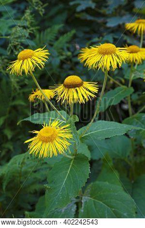Wild Yellow Blooming Flowers Telekia Speciosa ,yellow Oxeye,  Heartleaf Oxeye,  Yellow Ox-eye, Heart