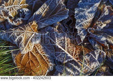 Frozen Colorful Leafs . Fallen Brown Leaves Covered With White Hoarfrost, Close-up, In Sunlight. Abs