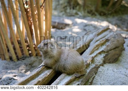 Black Tailed Prairie Dog Is Sit Down On Sand