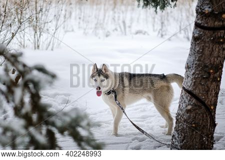Husky Dog ​​is Tied By A Leash To A Tree Trunk. Husky Stands In The Snow, Looking At The Camera.