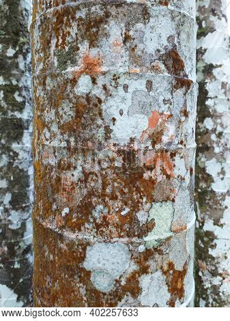 Close Up Of Tropical Palm Tree Trunk With Decorative Bark. Tree Bark Texture With White Spots And Mo