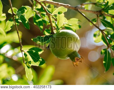 Unripe Wild Green Pomegranate On A Tree. Selective Focus. Growing Pomegranate Fruit In The Garden. P