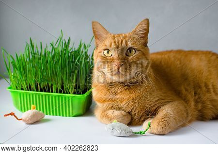 Ginger, Red Cat Eat Green Grass. Green Juicy Grass For Cats, Sprouted Oats Useful For Cats. Veterina