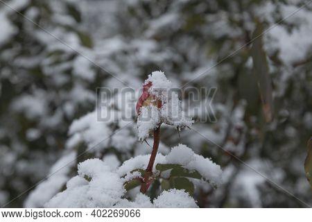 Madrid, Spain - January 07, 2021: Detail Of A Frozen Rose, In The Famous Rosaleda, In The Buen Retir