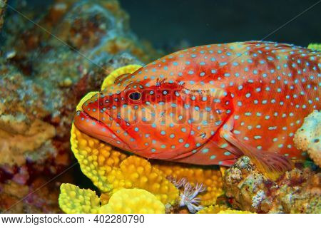 Coral Hind Fish Resting On The  Soft Coral (cephalopholis Miniata)