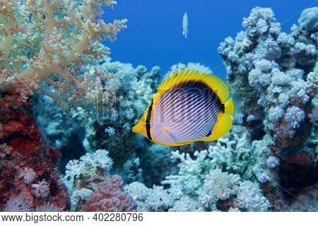 Beautiful Underwater Scene With Coral Reef And   Blackbacked Butterflyfish (chaetodon Melannotus)