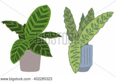 Houseplants With Botanic Names 'calathea Zebrina' And 'calathea Lancifolia', Two Popular Exotic Trop