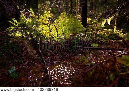 Temperate Rainforest Undergrowth. A lush, Pacific Northwest temperate rainforest floor of the Pacific Northwest.