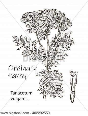 Tansy Tanacetum Vulgare , Or Common Tansy, Bitter Buttons, Cow Bitter, Or Golden Buttons. Hand Drawn