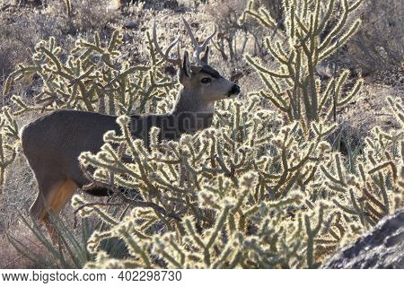 Mojave desert buck in cholla cactus at Red Rock Canyon National Conservation Area near Las Vegas, Nevada.