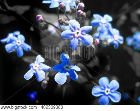 Forget-me-not (myosotis) Flowers Blooming, Close Up, Springtime