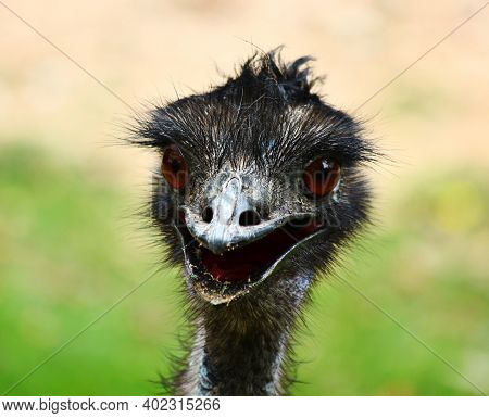 Close Up  The Emu Face With Blur Background