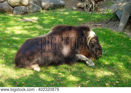 Musk Ox (lat. Ovibos Moschatus) Lying On The Grass
