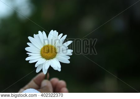 White Daisy Flower In Hand On Dark Green Backgrounds. Beauty In Fragility And Still Life Concept. Se