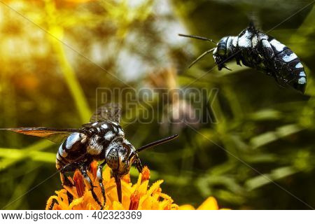The Blue Honey Wasp Is Looking For Flower Essence Food In The Wild, When Two Black Wasps Are Flying