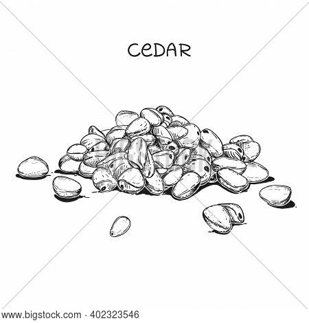 Hand Drawn Sketch Black And White Of Cedar Nut, Seeds. Vector Illustration. Elements In Graphic Styl