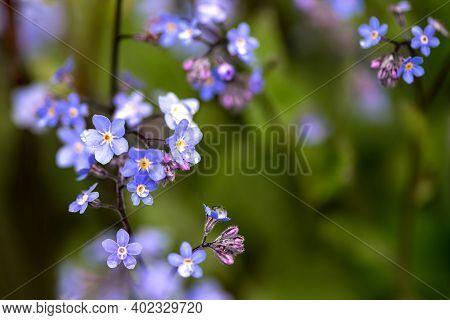 Tiny Blue Flowers Of Myosotis In Green Grass