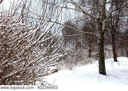 Snow On The Branches Of Bushes After A Snowfall. Beautiful Winter Background With Snow-covered Branc