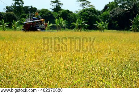The Golden Paddy Field On The Harvest Season With Blurry Combine Machine Working In Background