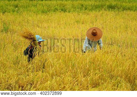 Harvesting Rice Plants By Hand With Reaping-hook, The Traditional Method Of Paddy Cultivation In Tha