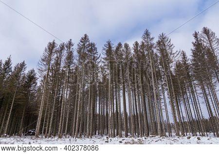 Kiefern Im Winterwald. Januar Im Harz Bei Wernigerode