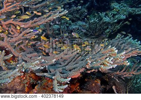 Tropical Fish Swim Over Hard Corals. Big Hard Coral Is Home To Small Bright Coral Fish. Underwater P