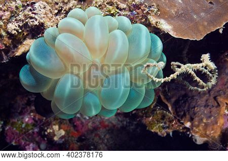 Soft Corals On The Reefs Of The Coastal Waters Of Malaysia. Coral Bubbles. Underwater Photography.