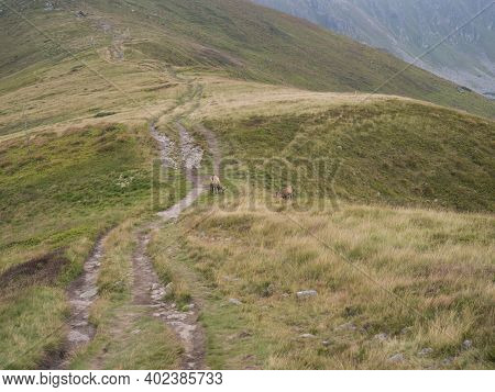 Couple Of Tatra Chamois, Rupicapra Rupicapra Tatrica Grazing Standing On A Footpath At Summer Mounta